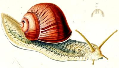 Histoire faune et flore l 39 escargot se fait m dicament - Dessin d un escargot ...
