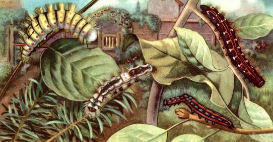 Chenilles. Chromolithographie publicitaire du XXe siècle